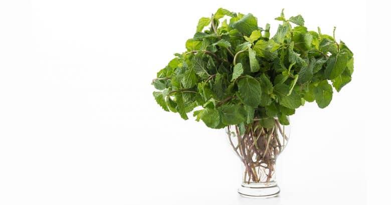 ervas perenes   Menta fresca