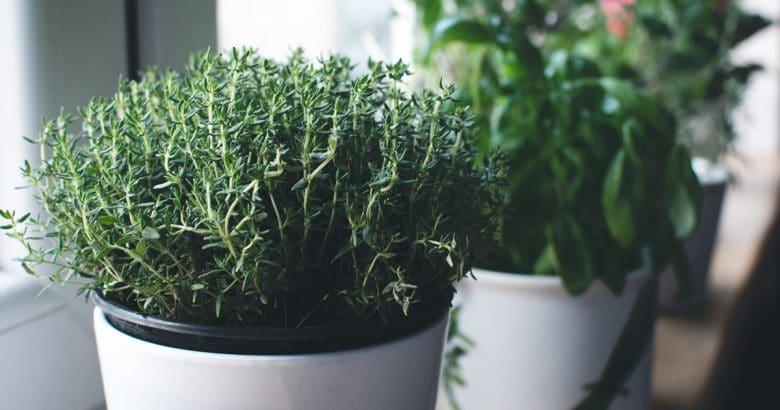 ervas perenes | Tomilho, manjericão e outras ervas no peitoril da janela
